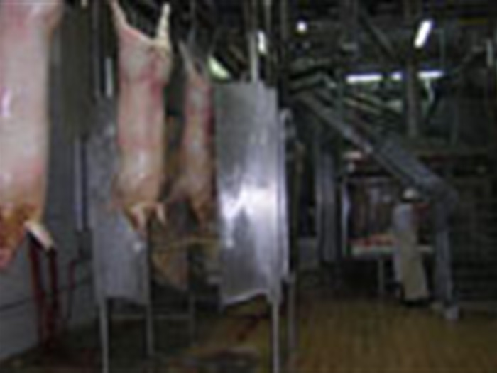 Pigs slaughtering lines